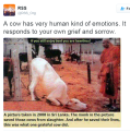 cow_slaughter